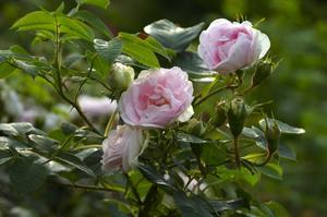 Rosa alba Maiden's blush. En av de äldsta albarosorna, som med säkerhet kan spåras odlade i Italien 1629. Men redan på en målning från 1430 tros den finns med. En lättodlad, frisk och bra ros, som trivs i våra trakter.