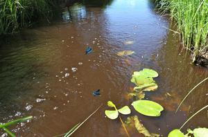 Blå jungfruslända. Soliga dagar under högsommaren kan man beskåda denna eleganta slända dansande tätt över vattenytan vid bäckar med rik växtlighet.