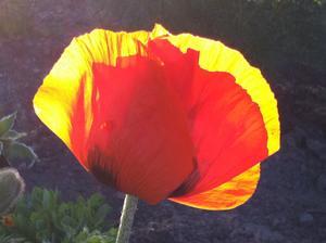 Det var i en solig kväll på altanen i början av sommaren. Så såg jag en lysande röd blomma längst bort i trädgården. Det är en Vallmo med solen silande genom kronbladen, lite asiatisk känsla, kanske....