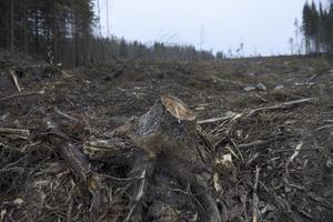 Kalhygge. Stordrift med brutala metoder präglar svenskt skogsbruk, anser skribenten.Foto: Fredrik Sandberg/TT