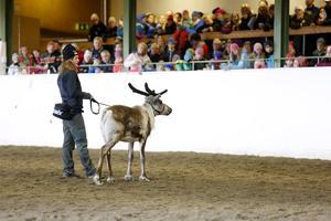 Kändisrenen Rudolf har dresserats genom klicker-träning och har medverkat i flera filmer.