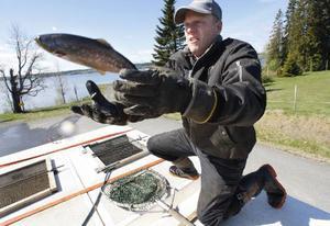 Den här öringen tog sig en egen flygtur innan det var dags för den att sättas ut i Storsjön. Tommy Engelin från Östersund försöker fånga rymlingen.