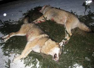 Jägarnas riksförbund kräver att fler vargar får skjutas.