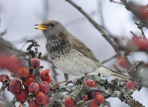 Den svarthalsade trasten är förtjust i frukt och bär. Gammal vinterfukt passar perfekt.Foto: Kjell Johansson