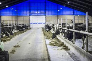 Förutom mjölk producerar korna mycket gödsel, som skulle kunna användas i en biogasanläggning.