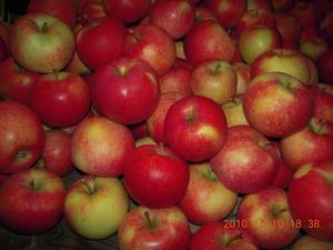 Svenska äpplen när de är som vackrast, just nedplockade från trädet.