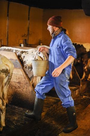 Inne i fjöset på väg för att mjölka ko.