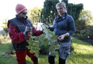 Mariatistlar verkar gilla ullgödsel. Lena Bodén, till vänster, håller i bladet från en ogödslad planta, Anna Gustafsson, till höger, håller bladet från en ullgödslad tistel.
