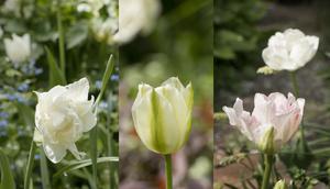 Den dubbla Angelic och grönbandade Spring green, randig i vitt och limegrönt.