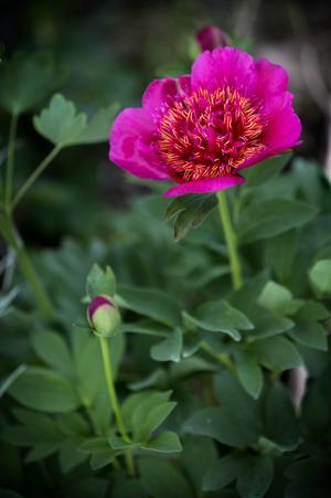 Det finns många olika arter av pion i trädgården.