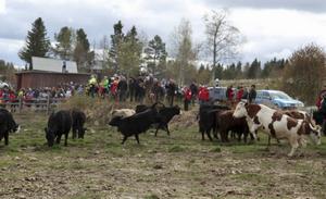 Det fanns mycket spring i benen på korna när de släpptes ut efter vintern