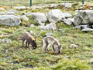 På avelsstationen på Dovrefjäll föder man upp och släpper ut fjällrävar i det fria. Där ska Kristin under två månader studera personlighetstyper hos fjällrävsvalparna.