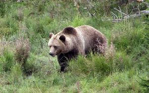 En frisk och vacker brunbjörn, men som i värsta fall kan innehålla trikiner. Foto: Curt Kvicker