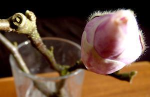 Magnolia på väg att slå ut.
