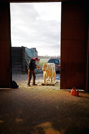 Frigående tamboskap. Den meterhöga kossan av RKB-typ står tåligt kvar medan Anders Suneson bearbetar kärnvirket som Leif Eriksson limmat ihop. Kallhallen i Ås fungerar som ateljé denna dag.
