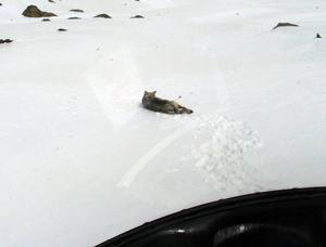 Det tar cirka fyra minuter från att skottet träffar till att vargen somnar. Här syns sprutan tydligt i vargens rygg.Foto: Ulf Grinde