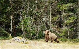 Björnen passerade på cirka 100 meters avstånd och Hans-Åke Ångman siktade bra med sin kamera.