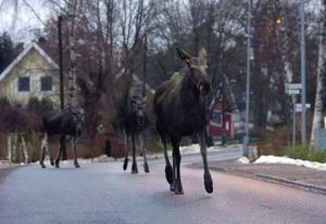 Djuren på bilden har inget samband med onsdagskvällens händelse, där en häst med ryttare blev jagad av ett gäng galna älgar.