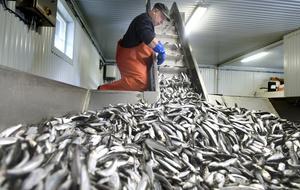 De senaste fem åren har fångsterna av strömming i Bottenviken ökat med 70 procent. Samtidigt vittnar kustfiskare om svårigheter att alls få någon fångst, skriver sex företrädare för Vänsterpartiet. Foto: Håkan Humla.