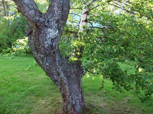 På denna närbild ser man tydligt den kraftiga björkgrenen som kommer ut ur körsbärsträdets stam.