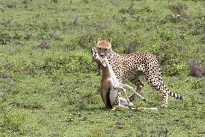 Vi hade turen att se en gepard slå en thomsongasell i en rasande snabb attack. Att det rör sig om världens snabbaste landdjur, med en topphastighet på över 100 kilomter i timmen, blev man då varse.