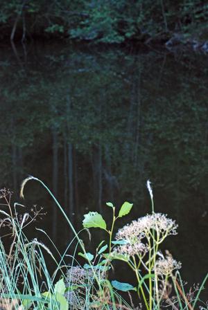 Växter speglar sig i dammens mörka vatten.