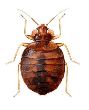 Vägglus förstorad. De lever på blod från varmblodiga värddjur - till exempel människor.