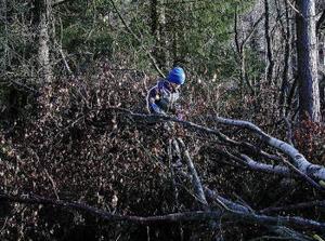 Björn har upptäckt vilken förnämlig klätterställning som bävrarna ordnat.