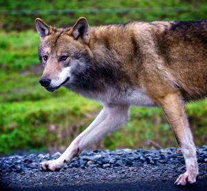 Det är troligen en ung varg från Olsjöreviret som visat sig på Björkås.