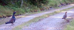 Två äldre fåglar, en höna och en tupp, har vandrat ut från lekplatsen och hamnat på en grusväg.