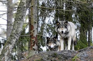 Vargstammen minskar. Här vargar från Kolmården.