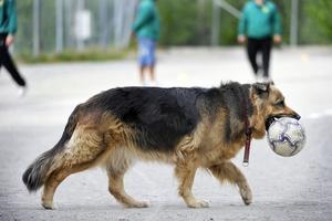 Schäfern är den populäraste hundrasen i Gätrikland samt Tierp och Älvkarleby. Vid årsskiftet fanns det 453 stycken.