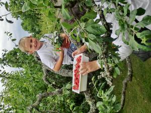Theo firar midsommarafton uppe i plommonträdet med midsommarstången och äterjordgubbar, vill se på utsikten.