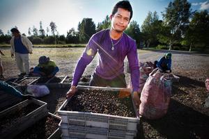 Han är en av 74 thailändska plockare som bor två månader i en nedlagd skola i Hammerdal. Plockar han 20 hinkar om dagen kan han ta med sig hem cirka 50 000 kronor. Utan vilodag.