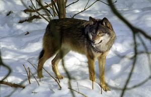 Alliansen är orolig för regeringens och Socialdemokraternas intentioner för rovdjurspolitiken.