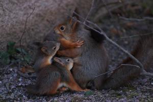 Tre små väldigt lekfulla ekorrar och sin mamma blev dagens fångst på bild.