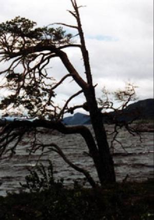 Den gamla tallen vid Fågelberget har gett upp och fallit.