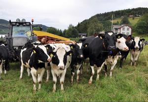 Åre bondgårds mjölkkor i Vik, Björnänge, med Totthummeln i bakgrunden. En syn som Årebor och gäster vill ha kvar, om man får tro reaktionerna på mjölkprishöjningen i Åre.