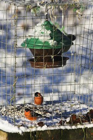 En bur av rutnät gör att småfåglarna får äta ifred från skator och andra.