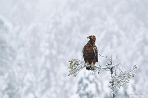 En kungsörn på spaning i vinterlandskapet.