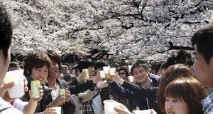 Under Sakura möts många för att skåla in våren. Här i Ueno park, Tokyo.