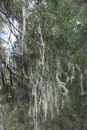 Vanligtvis blir de hängande delarna på laven 50 centimeter långa.