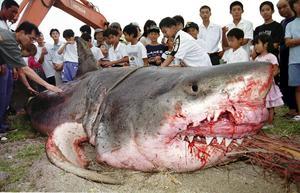 Den stora vithajen har minskat i haven på grund av överexploatering, och är nu klassad som sårbar på rödlistan. Hajen på bilden fångades utanför den japanska kusten.