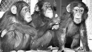 Tre nya små schimpanser har landat i Västerås.