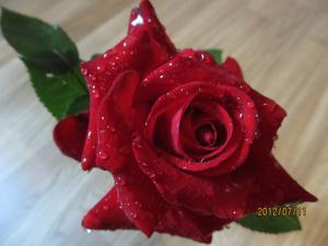 Så här vacker kan en ros vara även denna regniga sommar. Rosen heter Ingrid Bergman och växer i våran rosrabatt i Hallstahammar.