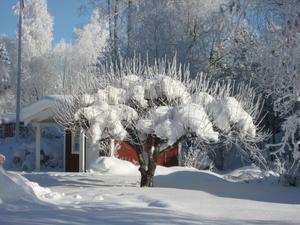 Vårt äppelträd som är lika fint på vintern som på sommaren.