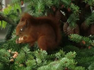 När jag drog upp persiennen en morgon i somras var detta vad jag såg. En ekorre som äter frukost i lung och ro på Gideonsberg i Västerås.