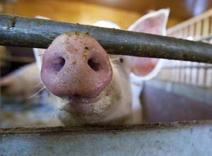 Landsbygdspartiet oberoende, LPo, kräver importstopp av animaliska produkter från länder som missbrukar antibiotika i djurhållningen och därmed ignorerar hotet om antibiotikaresistens samt bidrar till spridning av MRSA.