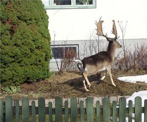 Var ute med min hund på Skiljebo då det plötsligt reste sig en ståtlig hjorthanne precis bredvid mig i en trädgård. Så innan jag fått fram kameran hann hjorten resa sig, men jag hann i alla fall fånga den på bild