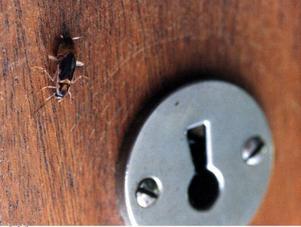 I en lägenhet i Bräcke pågår sanering från kackerlackor sedan en tid tillbaka.